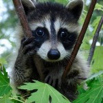racoon guadeloupe animaux sauvage