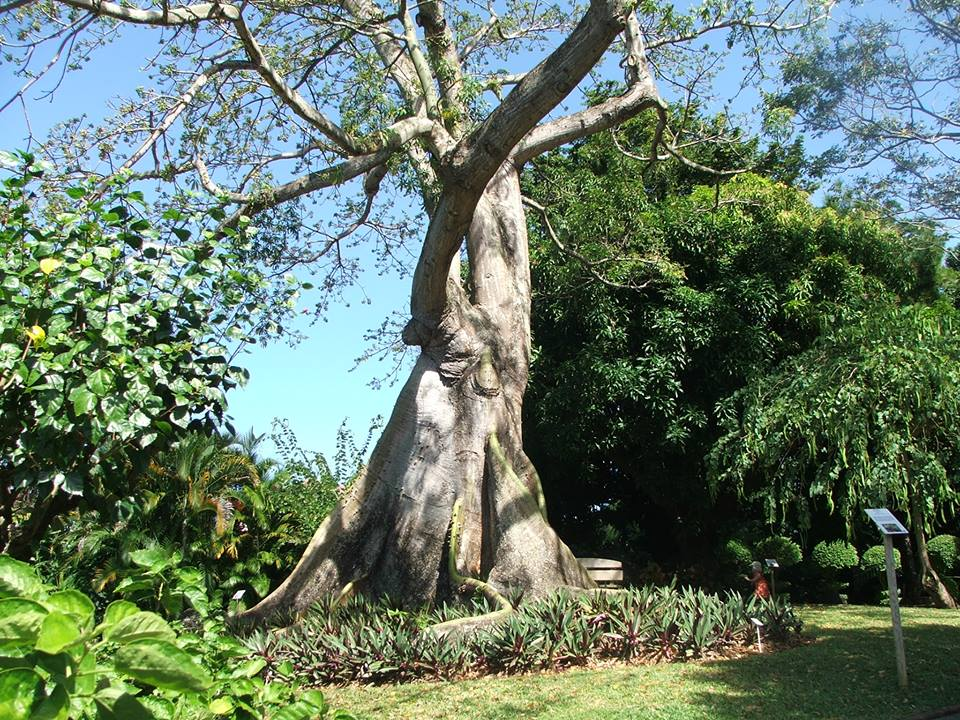 Photo Guadeloupe arbre centenaire