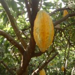Photo Guadeloupe gwada Fruit arbre
