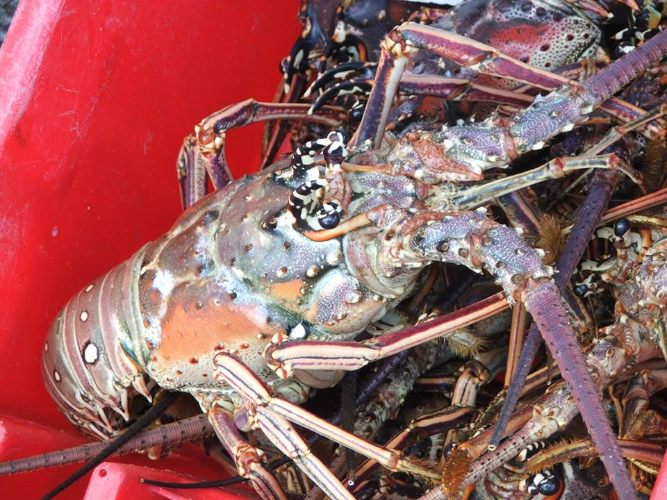 Photo Langouste Guadeloupe